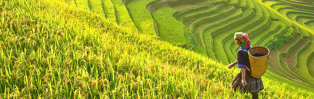 A rice farmer looking out on a green, hillside rice plantation.