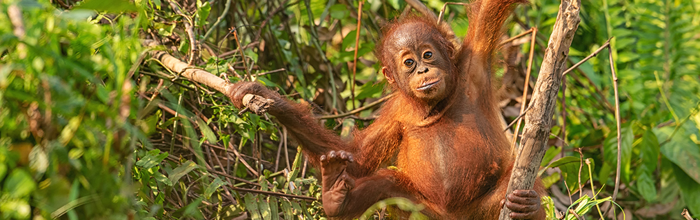 A baby orangutan in the trees of a rainforest.